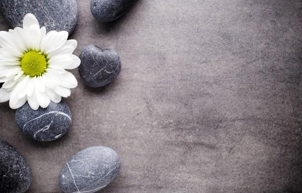 Картинка цветок, камни, ромашка, flower, stones, spa, zen