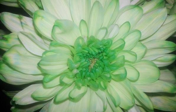 Картинка Цветок, Лепестки, Зеленая, Хризантема, Серцевина