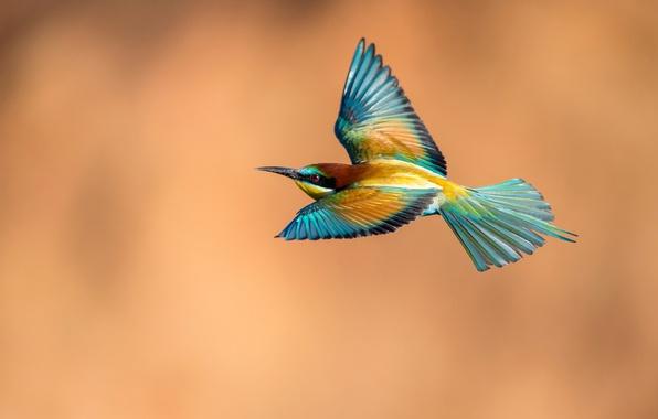Картинка полет, фон, птица, крылья, щурка золотистая