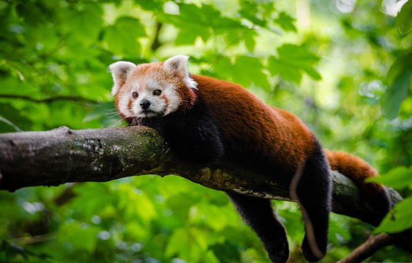 Картинка листья, дерево, отдых, красная панда, малая панда