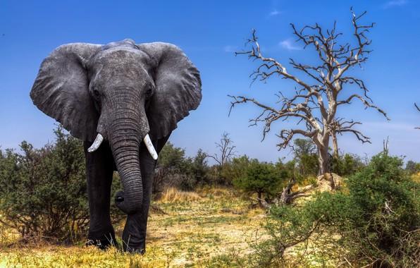 Картинка Africa, Elephant, Safari, Botswana, Okavango Delta