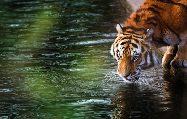 Картинка лес, лето, тигр, отдых, размытость, дикая кошка, animals, nature, tiger, боке, амурский тигр, amur tiger, …