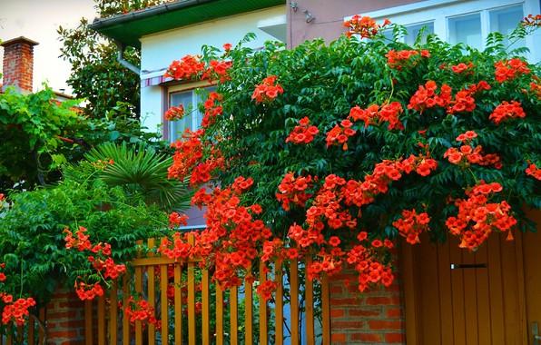 Картинка Деревья, Дом, trees, калитка, nature, Цветение, Двор, Красные цветы, кампсис, Flowering, Red flowers, Kampsis