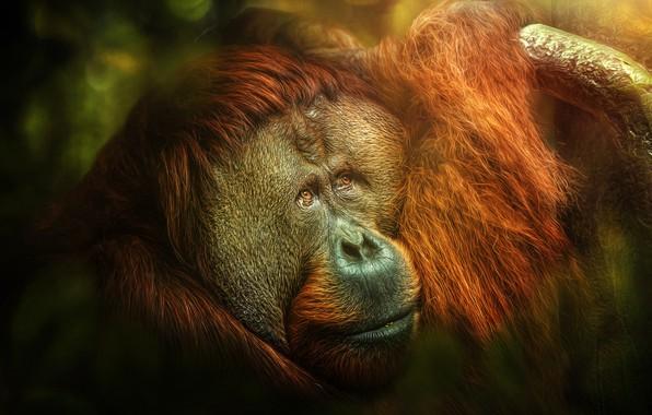 Картинка monkey, jungle, Melancholia, orangutan