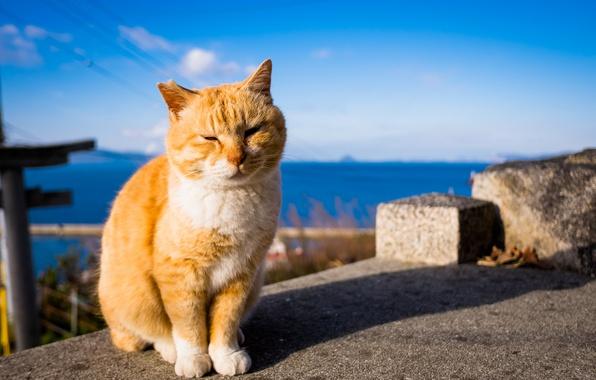 Картинка лето, кот, рыжий, с белым