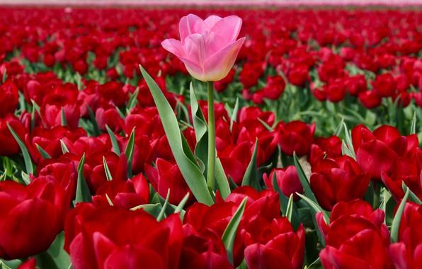 Картинка поле, тюльпаны, Нидерланды, много, плантация, красные тюльпаны, выскочка, розовый тюльпан