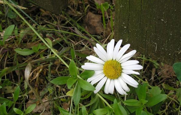 Картинка цветок, лето, ромашка