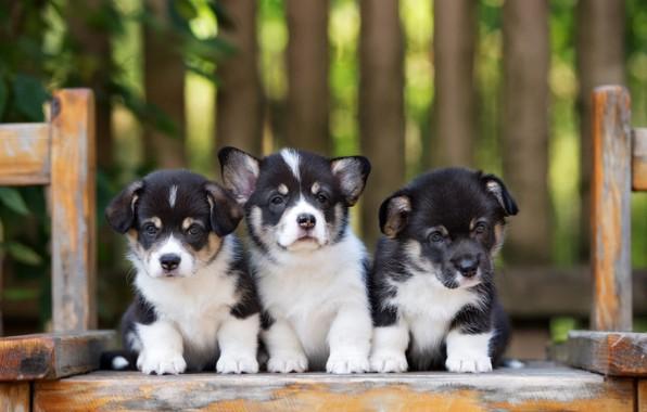 Картинка щенки, трио, корги