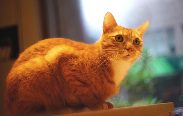 Картинка кошка, кот, взгляд, стол, стена, окно, рыжий, сидит, смотрит, фотосессия, помещение, котяра, котэ, размытый фон