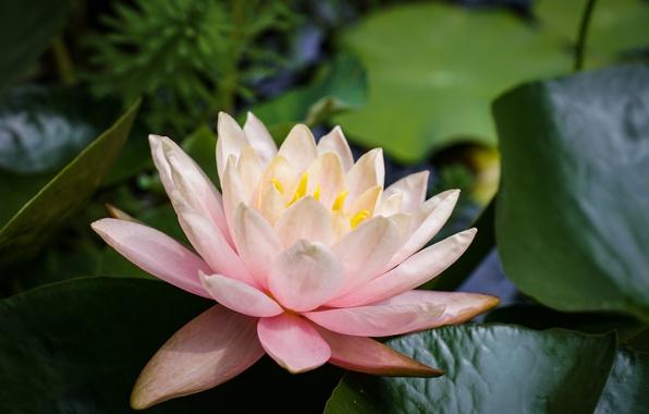 Картинка листья, лепестки, кувшинка, нимфея, водяная лилия
