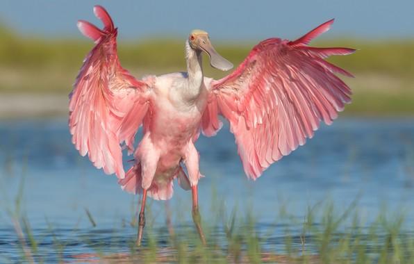 Картинка вода, птица, крылья, Розовая колпица