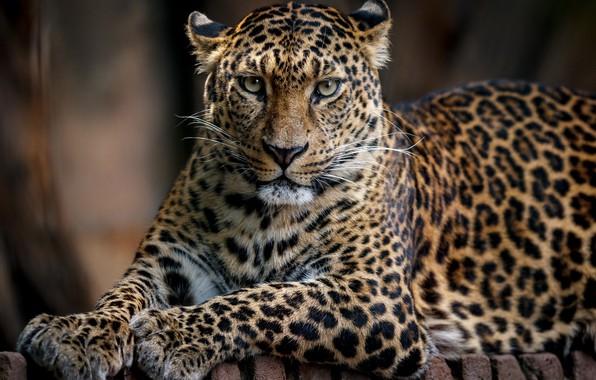 Картинка кошка, леопард, грация
