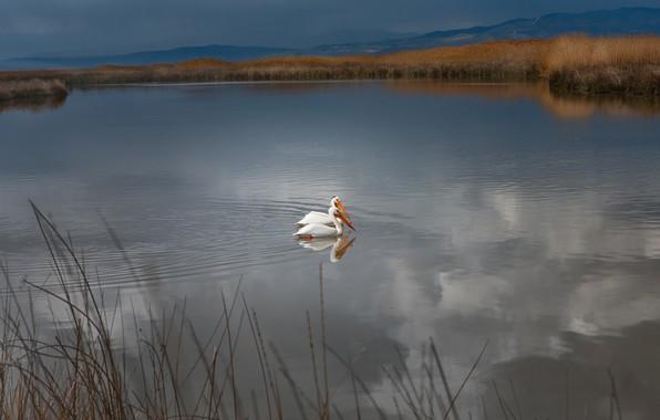 Картинка трава, вода, пейзаж, горы, птицы, природа, озеро, пруд, берег, пара, водоем, пеликаны
