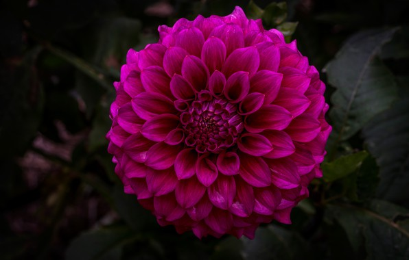 Картинка цветок, листья, макро, цветы, темный фон, лепестки, сад, георгина, пышная, яркая, махровая, темно-розовая
