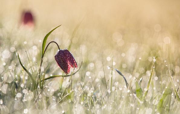 Картинка цветок, свет, блики, весна, утро, боке, шахматный рябчик