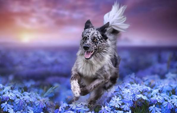 Картинка поле, цветы, природа, собака, бег, пёс