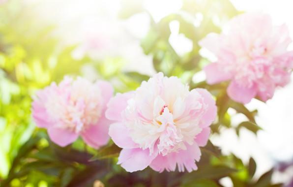 Картинка цветы, весна, цветение, кустарник, пионы