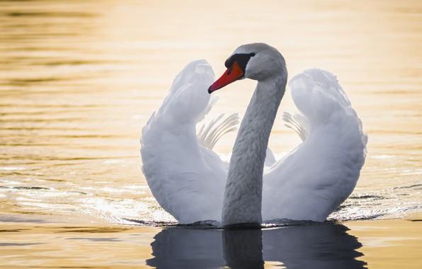 Картинка вода, птица, крылья, лебедь, шея