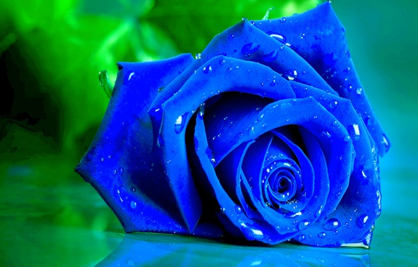 Картинка капли, макро, роза, лепестки, бутон, синяя