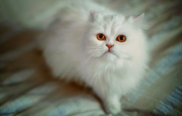 Картинка кошка, взгляд, пушистая, персидская кошка, белая кошка