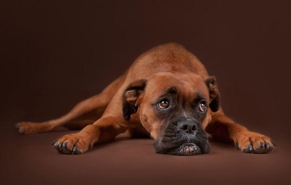 Картинка грусть, взгляд, морда, фон, портрет, собака, Боксёр