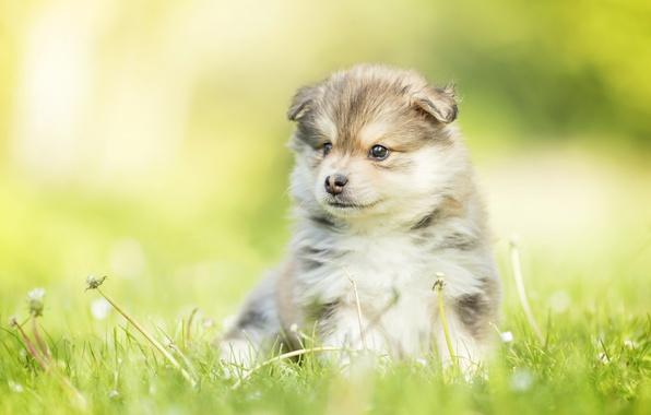 Картинка собака, малыш, щенок, одуванчики, боке, Финский лаппхунд