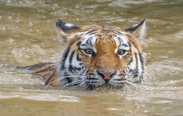 Картинка взгляд, морда, вода, тигр, пловец, дикая кошка