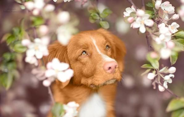 Картинка взгляд, морда, ветки, собака, весна, цветение, Новошотландский ретривер