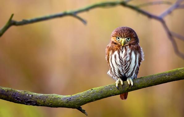 Картинка фон, сова, птица, ветка
