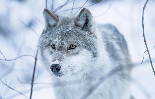 Картинка зима, глаза, взгляд, снег, волчица