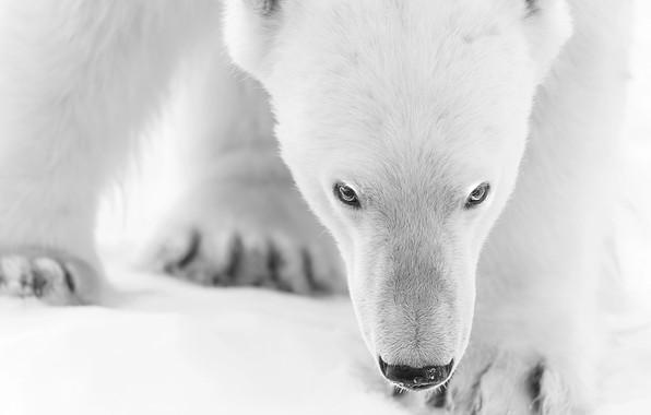 Картинка зима, морда, белый медведь, белый мишка