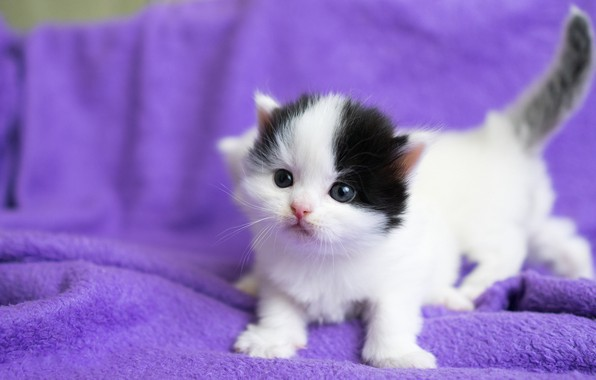 Картинка кошки, котенок, фон, сиреневый, черно-белый, маленький, малыш, мордочка, котята, ткань, белые, плед, котёнок, парочка, пушистики, …