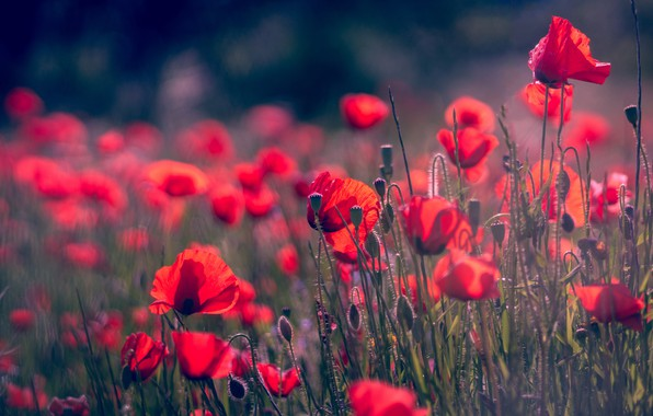 Картинка поле, лето, цветы, фон, поляна, мак, маки, размытие, лепестки, красные, алые, боке, маковое поле