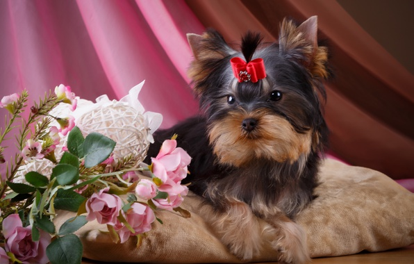 Картинка цветы, розы, девочка, щенок, бантик, йоркширский терьер
