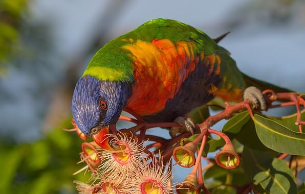 Картинка листья, птица, ветка, попугай, цветки, Многоцветный лорикет, Коримбия фикусолистная