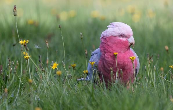Картинка трава, цветы, птица, попугай, боке, Розовый какаду