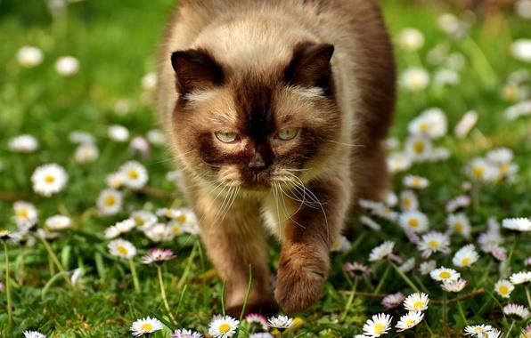 Картинка зелень, кошка, лето, глаза, кот, взгляд, морда, свет, цветы, тепло, поляна, портрет, ромашки, солнечно, лужайка, …