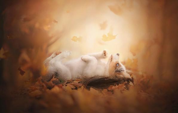 Картинка осень, листья, щенок, боке, пёсик, Австралийская овчарка, Аусси