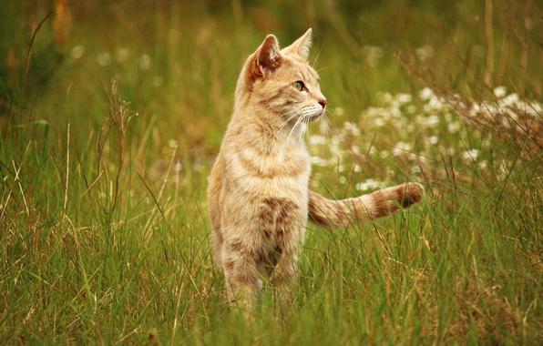 Картинка поле, кошка, лето, трава, кот, природа, фон, луг, рыжий, внимательный, смотрит в сторону, на стрёме