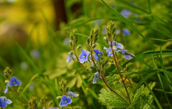 Картинка Природа, Весна, Nature, Spring, Голубые цветы, Blue flowers, вероника дубравная