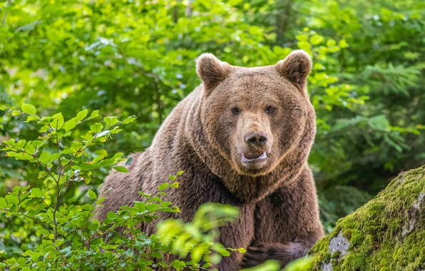 Картинка лес, взгляд, медведь, зверь, топтыгин