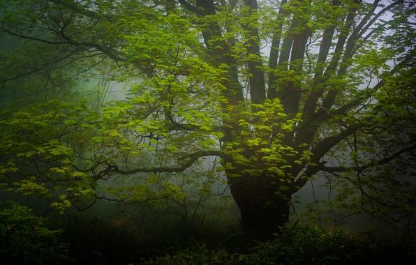 Картинка лес, природа, дерево, дымка