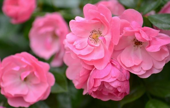 Картинка макро, розы, лепестки, розовые, боке