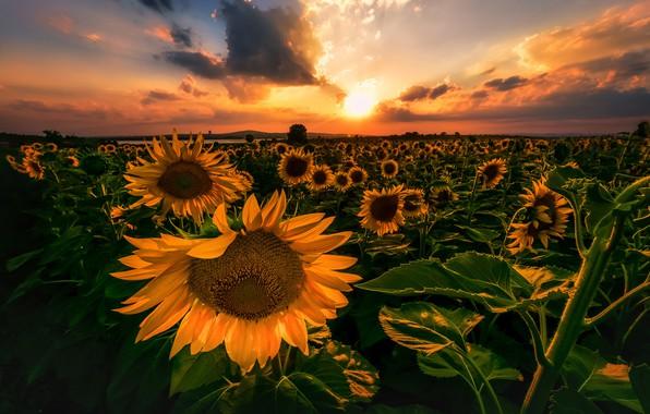 Картинка поле, небо, подсолнухи, закат