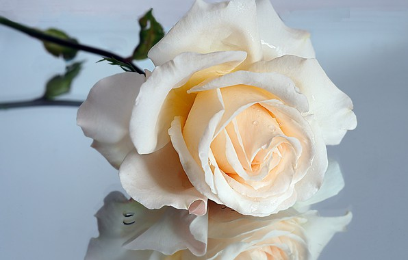 Картинка макро, отражение, роза, кремовый