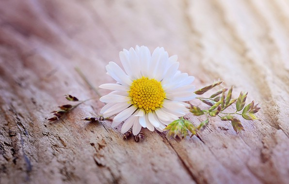 Картинка цветок, макро, ромашка, flower, yellow, wood, blossom, daisy