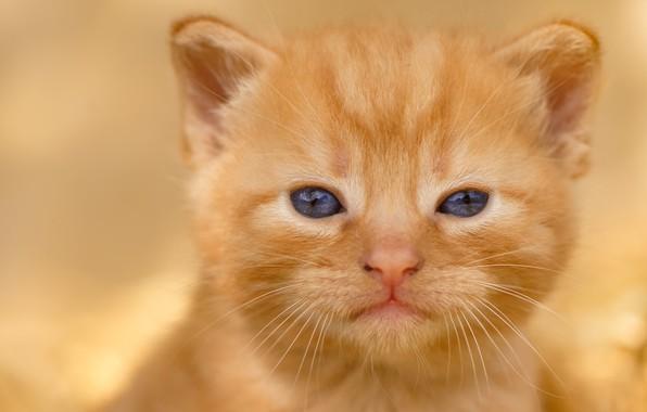 Картинка взгляд, малыш, рыжий, мордочка, котёнок