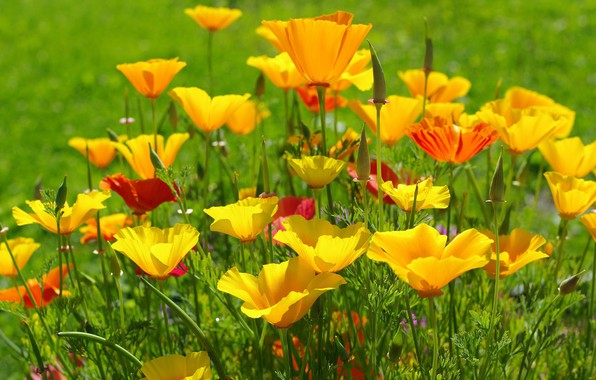 Картинка лето, цветы, природа, красота, дача, флора, июль, эшшольция, жёлтый цвет