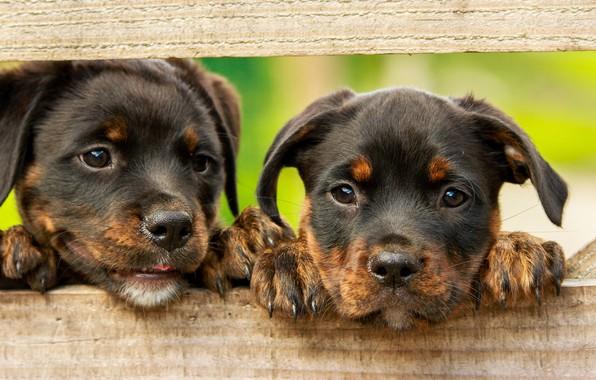 Картинка собаки, зеленый, фон, доски, забор, лапки, щенки, щенок, малыши, парочка, коричневые, два, милашки, ротвейлер, грустные …