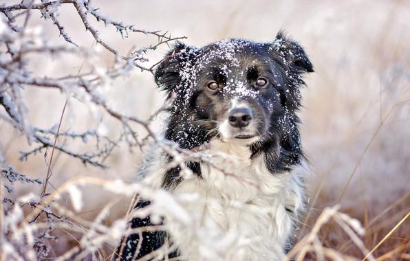 Картинка зима, иней, трава, взгляд, морда, снег, ветки, природа, черно-белая, портрет, собака